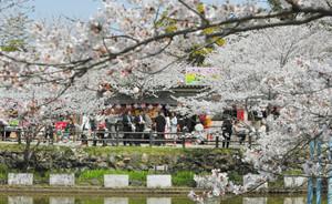 青空の下、満開となったソメイヨシノ=津市広明町の津偕楽公園で