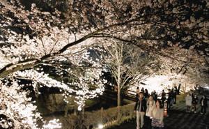 ライトアップされた松本城外堀沿いのソメイヨシノの並木=松本市で