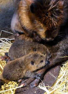 母親に甘えるアメリカビーバーの赤ちゃんたち=鳥羽市で(鳥羽水族館提供)