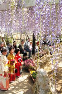 満開を迎えたフジの花=亀山市の太巌寺で