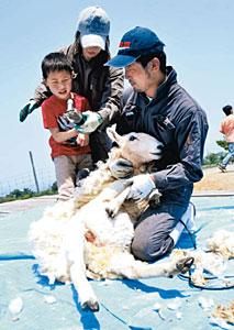 ヒツジの毛刈りを体験する子ども=黒部市宇奈月町栃屋で