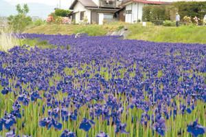 農具川の岸辺を紫色で彩るアヤメ=大町市大町で