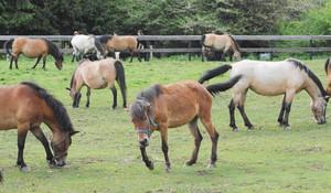 群れになって黙々と牧草を食べる木曽馬=木曽町開田高原の木曽馬の里で