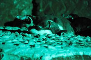 プールの脇で眠るペンギン。「ナイトアクアリウムツアー」では、生き物を刺激しないように懐中電灯に緑色のフィルムを張って見学する=南知多ビーチランド提供