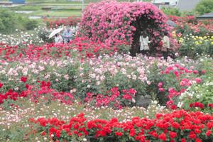 色とりどりのバラが咲き誇るさかき千曲川バラ公園=坂城町で