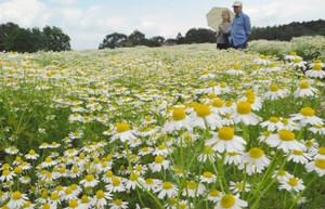 一面に咲き誇るジャーマンカモミールの白い花=伊賀市霧生のメナード青山リゾートで