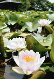 葉の間から淡いピンク色の花を咲かせるスイレン=辰野町のほたる童謡公園で