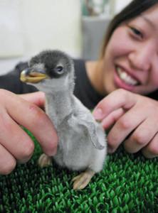 24日に生まれたジェンツーペンギンの「ベッキー」=美浜町の南知多ビーチランドで