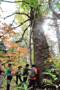 樹齢400年近いトウヒの幹に触れるツアー参加者ら=飛騨市神岡町と高山市上宝町にまたがる深洞湿原で