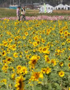 辺り一面に花を咲かせ始めたヒマワリ畑=15日午前、袋井市友永で(川戸賢一撮影)