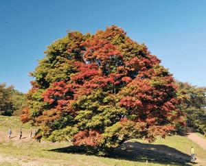 快晴の空の下、さまざまな色の葉を付けた大カエデ=池田町で
