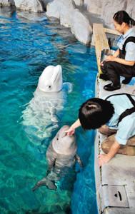 飼育員の指をくわえて甘えるベルーガの赤ちゃん=名古屋港水族館で