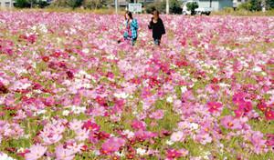 一面に咲き誇るピンクや紫のコスモス=豊郷町吉田で