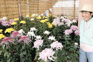 愛好家が育てた白や黄、紫色の大菊=敦賀市原の西福寺で