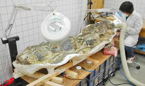 展示に向けてカマラサウルスの化石のクリーニングをする職員=勝山市の県立恐竜博物館で(県立恐竜博物館提供)