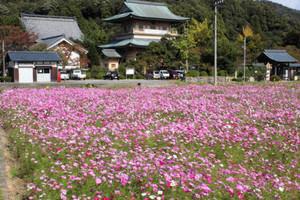 3日にまつりが開かれるコスモス畑=敦賀市原の西福寺前で