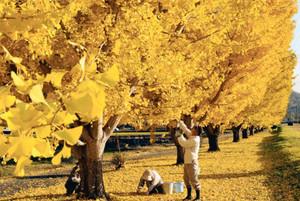 鮮やかな黄色に染まったイチョウ並木=中川村で