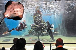 大水槽にクリスマスツリーを飾り付ける飼育員=坂井市の越前松島水族館で