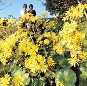 晩秋の日差しを浴びて鮮やかな黄色の花を咲かせるツワブキ=浜松市西区舘山寺町のはままつフラワーパークで(袴田貴資撮影)