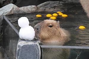 ゆず湯につかって温まるカピバラ=いしかわ動物園で