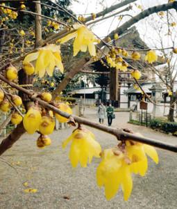 黄色いかれんな花が境内に甘い香りを漂わせるロウバイ=近江八幡市の沙沙貴神社で