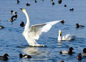 湖岸で羽を休めるコハクチョウ=草津市で(2011年12月13日撮影)