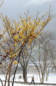 水墨画のような景色に春を呼び込むように咲く黄色のマンサク=福井市城戸ノ内町で