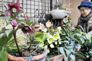 早春に咲き始めたクリスマスローズ=春日井市大泉寺町で