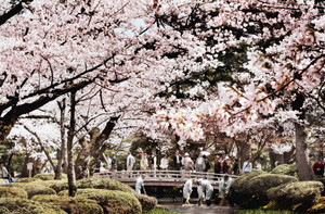 観光スポットとして全国区の兼六園の桜(一昨年撮影)