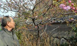ようやくつぼみを付けてきた「てんれい桜」=志摩市大王町波切の大慈寺で