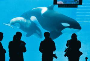 一般公開を前に母ステラ(右)と泳ぎ回るシャチの赤ちゃん=名古屋港水族館で
