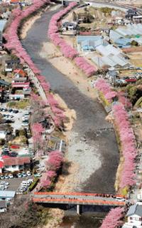 川沿いをピンク色の帯に染めた河津桜=5日午後、河津町で、本社へリ「おおづる」から(山田英二撮影)