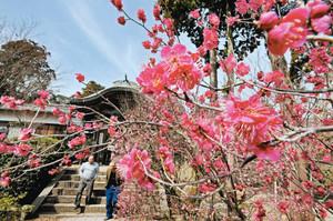 境内を一足早く春色に染める寒紅梅=敦賀市常宮の常宮神社で