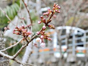 例年より2週間遅れで開花が確認された伊那小沢駅のカンザクラ