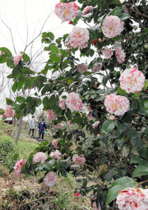 鮮やかな花を咲かせるツバキ。手前は花の直径が10センチほどある「菊更紗」=14日午後、浜松市浜北区平口の万葉の森公園で(川戸賢一撮影)