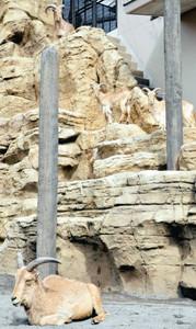 アフリカの山岳地帯を再現した草食獣舎内のバーバリシープ舎=静岡市駿河区の日本平動物園で