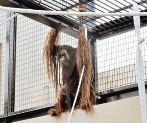 新オランウータン館のロープや天井にぶら下がる雄のジュン