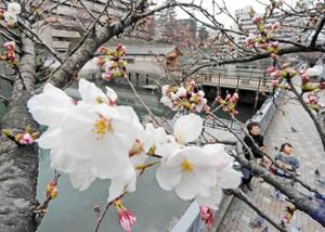 愛らしいピンクの花を咲かせるソメイヨシノ=福井市大手の御廊下橋付近で
