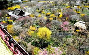 梅の紅白やレンギョウの黄が鮮やかな信州伊那梅苑=箕輪町で