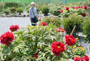ボタンが見頃を迎えた花の郷=日野町鎌掛で