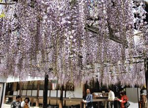 見頃を迎えた淡い紫色のフジ=亀山市の太巌寺で