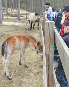 馬の母子と触れ合う観光客ら=木曽町の「木曽馬の里」で
