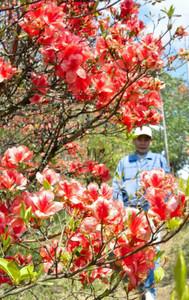 華やかに咲き誇るツツジ=伊賀市柘植町の余野公園で