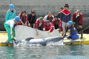 飼育員や島民らの手でいけすに放されるイルカ=南知多町日間賀島で