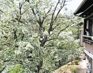真っ白な花に覆われるヒトツバタゴ=瑞浪市釜戸町の神明神社で