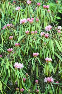 例年より10日ほど遅れて咲き始めたホソバシャクナゲ=設楽町の「つぐ高原グリーンパーク」で