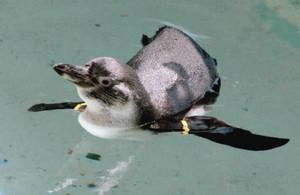プールを泳ぐフンボルトペンギンのひな=魚津水族館で