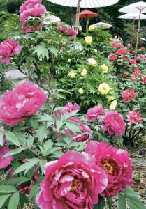 咲き競う色とりどりのボタン=伊那市高遠町の遠照寺で