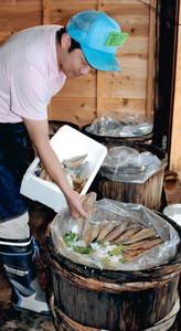 ご飯やサンショウの葉の上に3枚におろしたサバを重ね、さばずしを漬け込む組合員=南砺市城端で