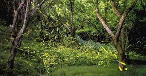 幻想的な光を放って飛び交うゲンジボタル=4日午後8時32分、浜松市西区舘山寺町、はままつフラワーパークで(浅野恭撮影、9分露出)